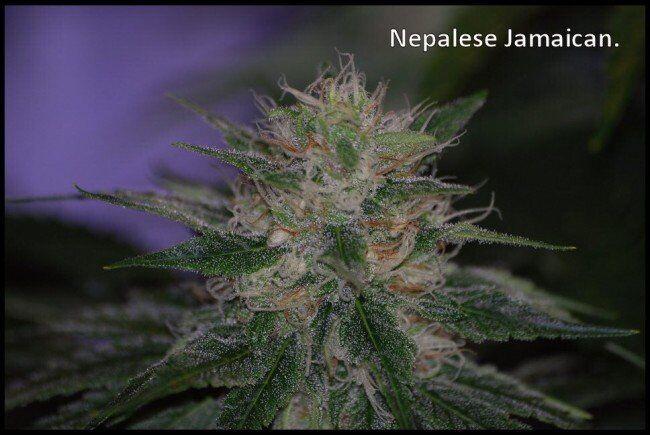Непал конопля как действуют марихуана bbc