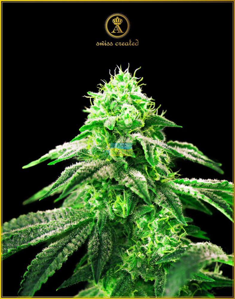 Конопля южная купить семена j сорта марихуаны
