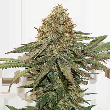 Семена конопли феминизированные купить купить марихуану шишки в киеве