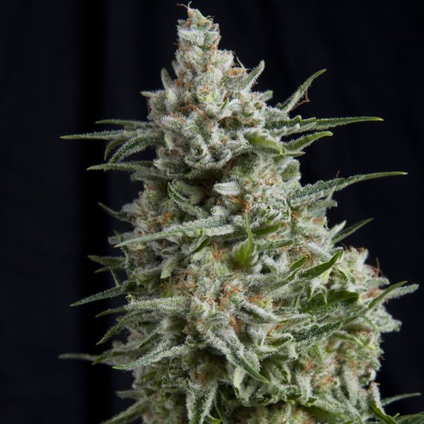 Anesthesia feminized, Pyramid Seeds
