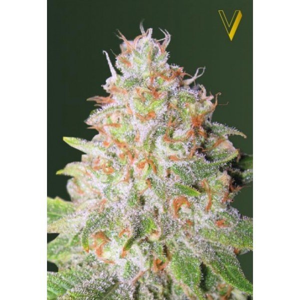 Auto Green Wild Shark feminized, Victory Seeds
