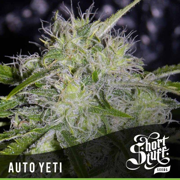 Auto Yeti feminized, Short Stuff Seedbank