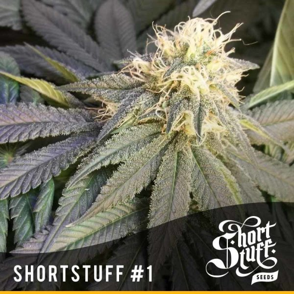 Short Stuff №1 Auto feminized, Short Stuff Seedbank
