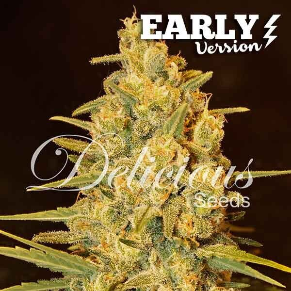 Critical Sensi Star Early version feminized, Delicious Seeds