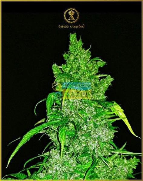 Auto Anaconda feminised, Anaсonda Seeds
