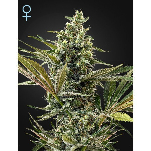 Auto Super Lemon Haze CBD fem, Green House Seeds