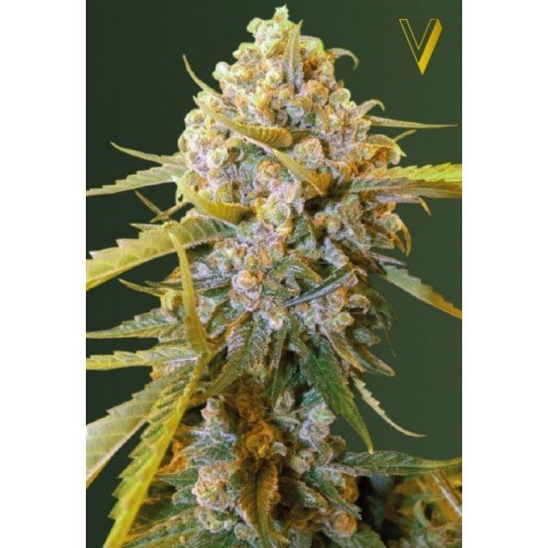 Biggest Bud feminized, Victory Seeds