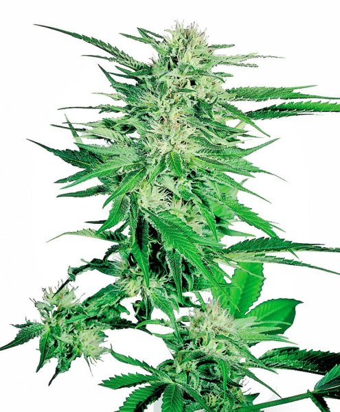 Big Bud Feminized Seeds, Sensi Seeds