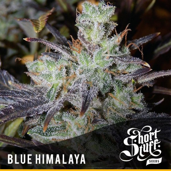 Blue Himalaya Auto feminized, Short Stuff Seedbank