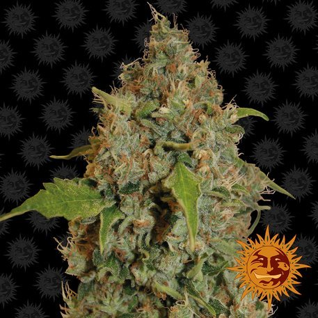 Chronic Thunder feminised, Barney's Farm