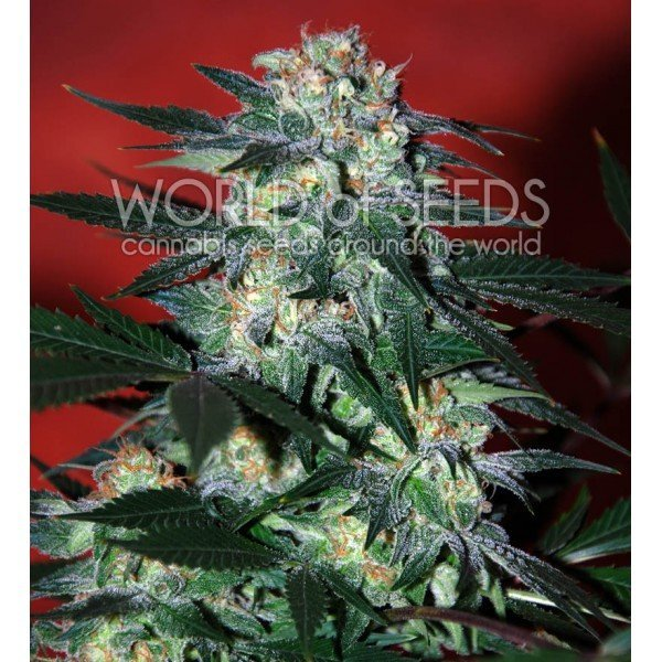 Delirium feminized, World of Seeds