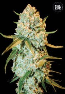 Special Crystal Haze feminized, Bulk Seed Bank