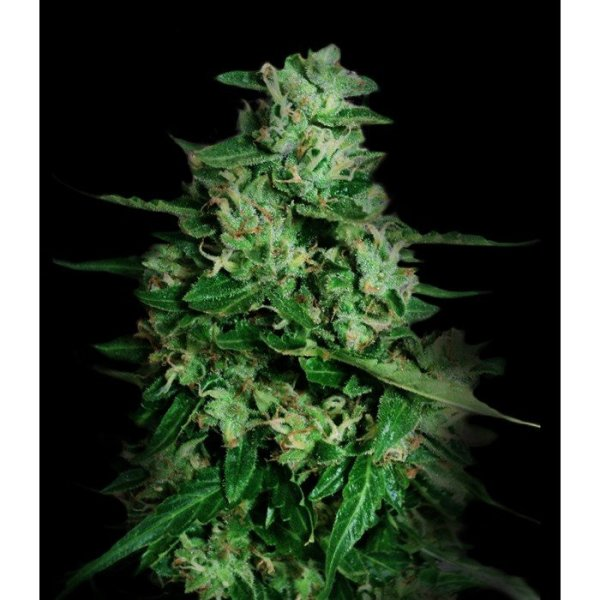 Northern Delights Auto feminised, VIP SEEDS