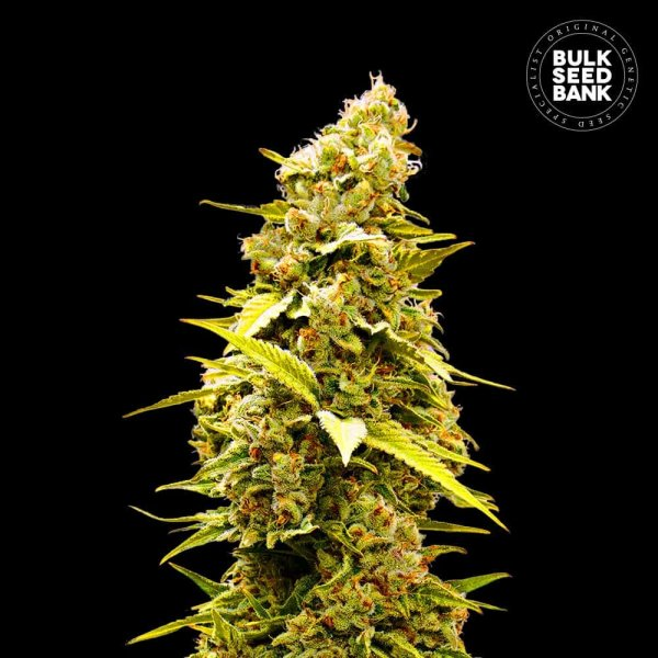 Banana Monkey feminized, Bulk Seed Bank