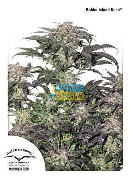 Bubba Island Kush feminised, Dutch Passion