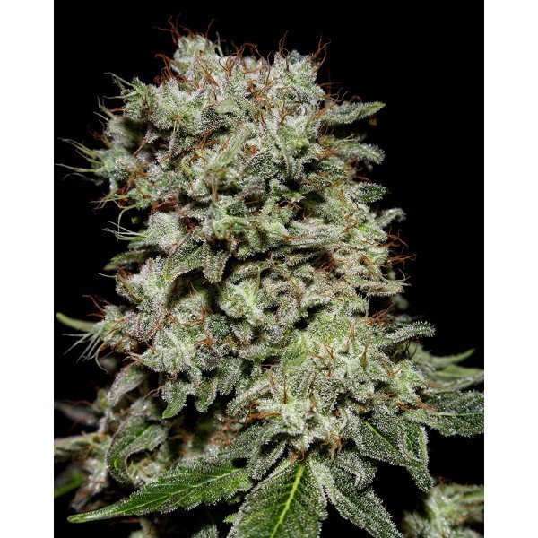 Kalashnikova Feminised, Green House Seeds