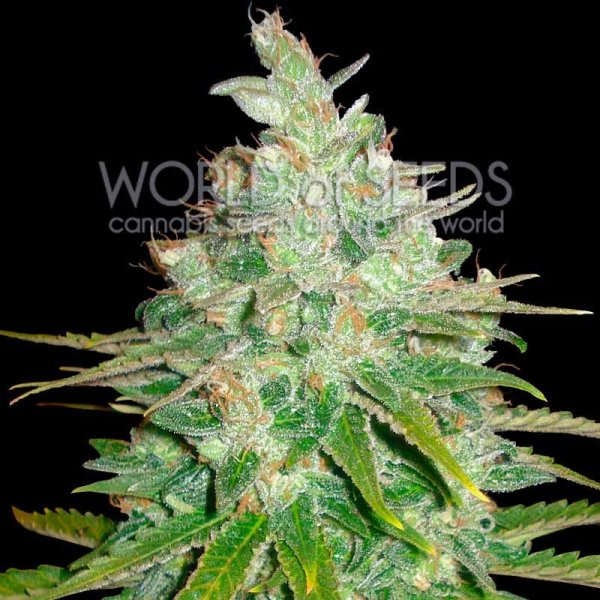 Afghan Kush x Black Domina feminized, World of Seeds