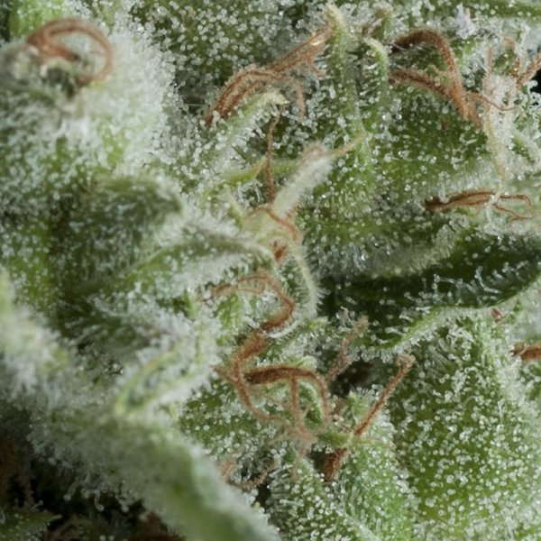 Auto Kryptonite feminized, Pyramid Seeds
