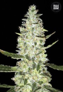Auto Special Skunk feminized, Bulk Seed Bank