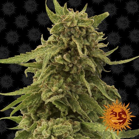 CBD Critical Cure Feminised, Barney's Farm
