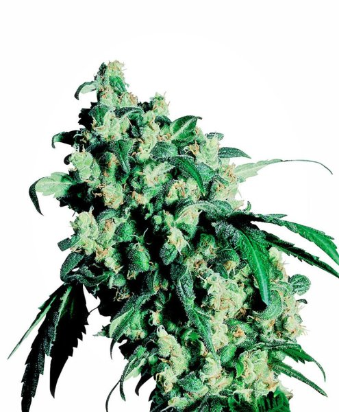 Super Skunk® Seeds, Sensi Seeds