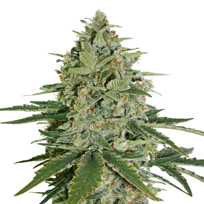 SUPER SKUNK FEMINIZED, Seedstockers