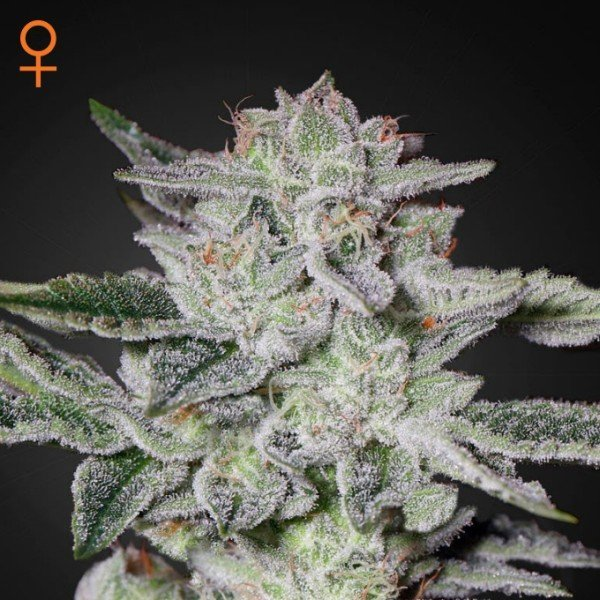 Sweet Valley Kush Feminised, Green House Seeds