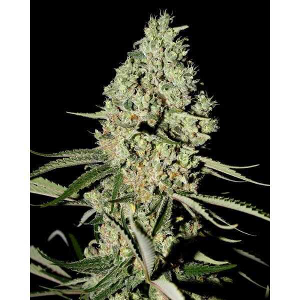 Super Critical Feminised, Green House Seeds