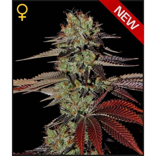 Auto Kings Kush feminised, Green House Seeds