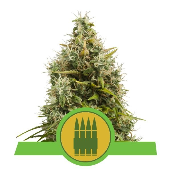 Auto Royal AK feminized, Royal Queen Seeds