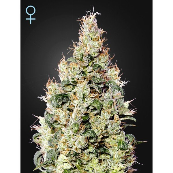 Auto Exodus Cheese CBD feminised, Green House Seeds
