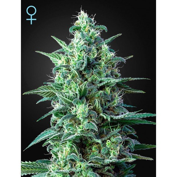 Auto White Widow CBD feminised, Green House Seeds