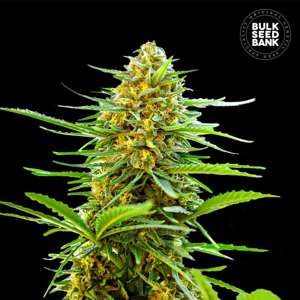 Auto Banana Monkey  feminized, Bulk Seed Bank