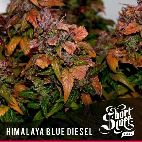 Himalaya Blue Diesel Auto feminized, Short Stuff Seedbank
