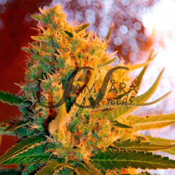 Shot Adrenaline Auto feminized, Samsara Seeds