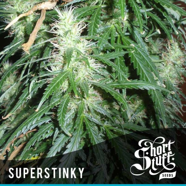 Super Stinky Auto feminized, Short Stuff Seedbank