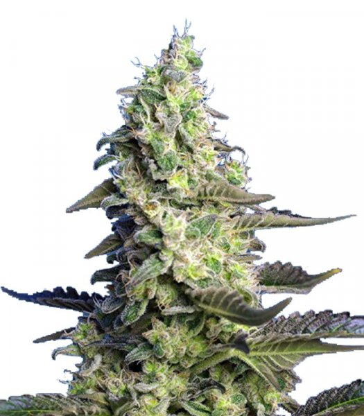 Auto  Poison XL feminized, семена поштучно