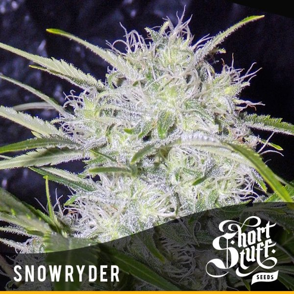 Snowryder Auto feminized, Short Stuff Seedbank
