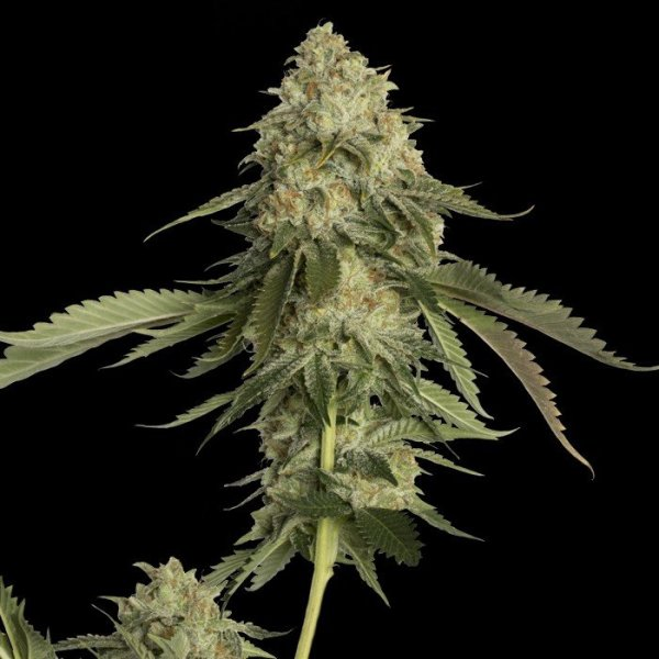 Golden Berry feminised, DNA Genetics