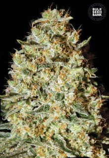 Nepal Gold feminized, Bulk Seed Bank