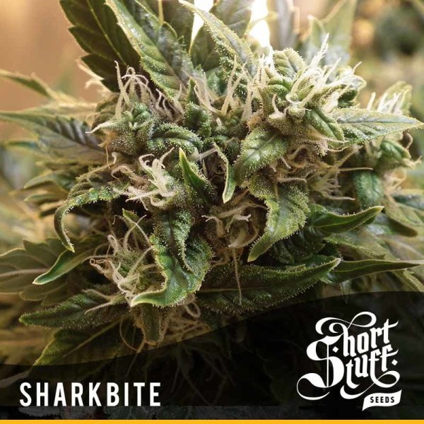 Shark Bite Auto, Short Stuff Seedbank