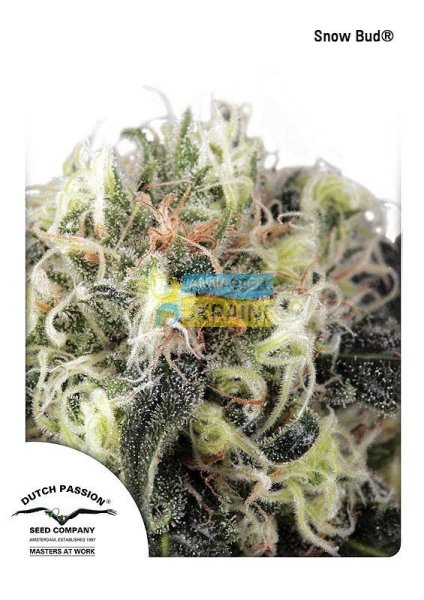 Snow Bud feminized, Dutch Passion