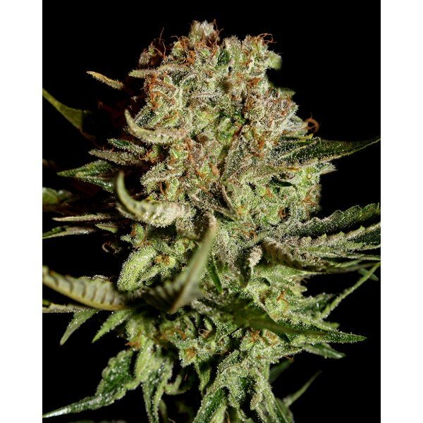 Super Bud Feminised, Green House Seeds