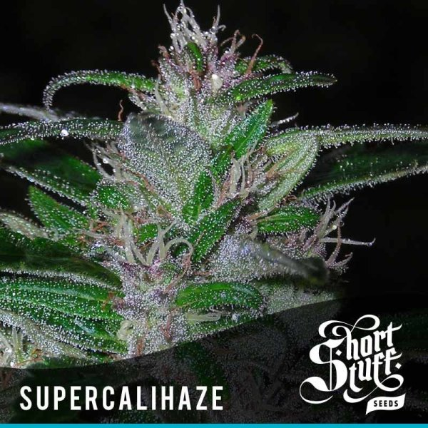 Super Cali Haze Auto feminized, Short Stuff Seedbank