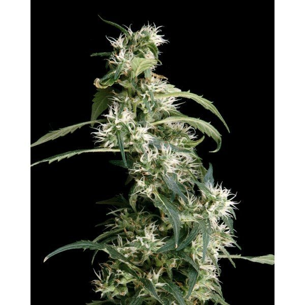 Arjan's Ultra Haze №2 Feminised, Green House Seeds