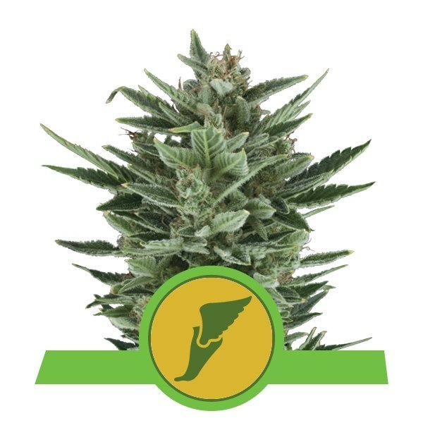 Auto Quick One feminized, Royal Queen Seeds