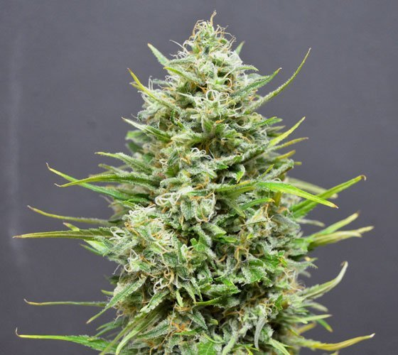 Auto Snow Star feminized, Amsterdam Seeds