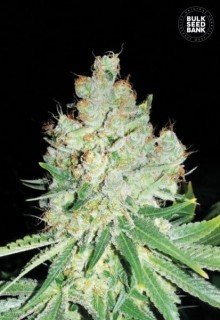 Cheese feminized, Bulk Seed Bank