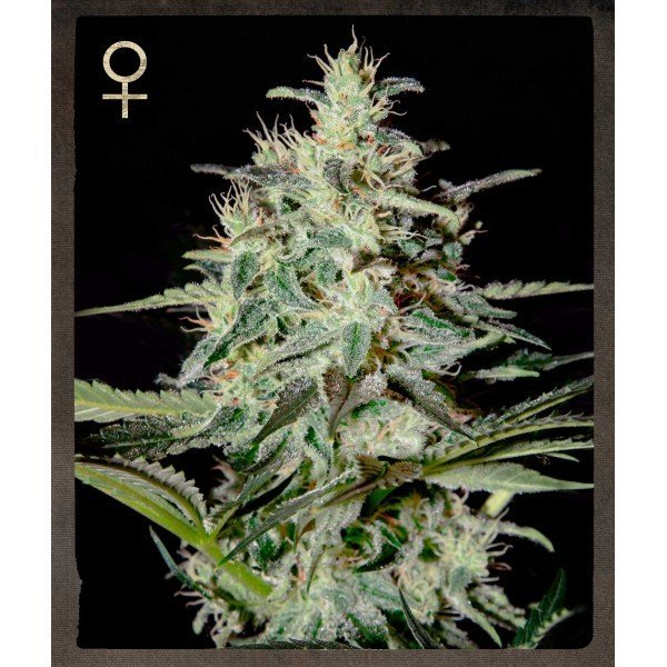 White Lemon feminized, Strain Hunters