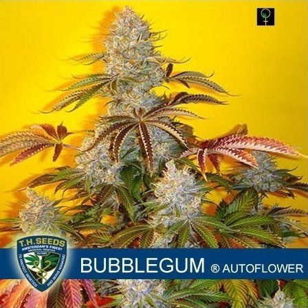 Auto Bubblegum feminized, T.H.Seeds